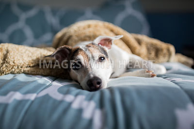 Dog resting on blue bed spread