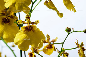 Bunch of Golden Rain Orchid on White Background.