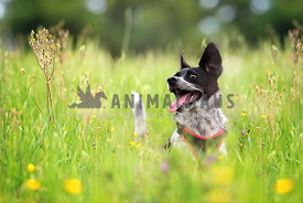 black and white dog jumping in long grass