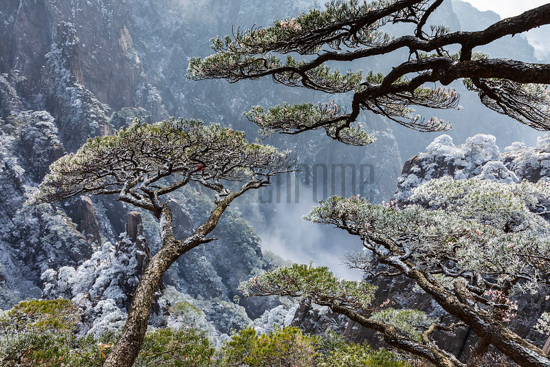Huangshan Pines Overlooking the Grand Canyon.