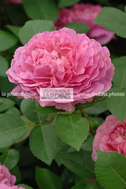 Rosa 'Noble Antony' (Rose). Ausway. Obtenteur : David Austin. Hampton Court. Angleterre.