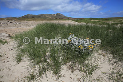 Yellow Sea Cabbage (Senecio candidans), Pebble Island, Falkland Islands