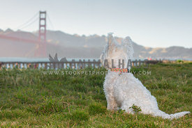 westie terrier sitting looking towards the Golden Gate Bridge