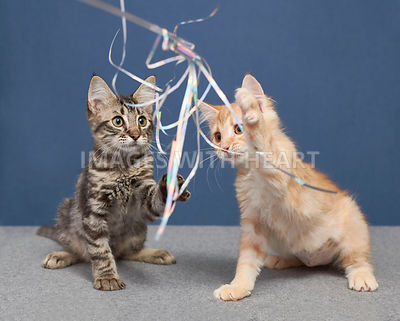 Kittens Playing with Cat Teaser