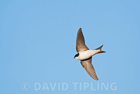 Common House Martin  Delichon urbicum Northumberland July