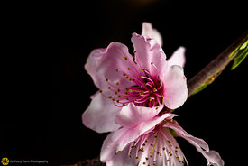 Peach Blossoms # 11