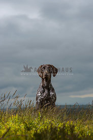 German Shorthaired Pointer sat in grasses