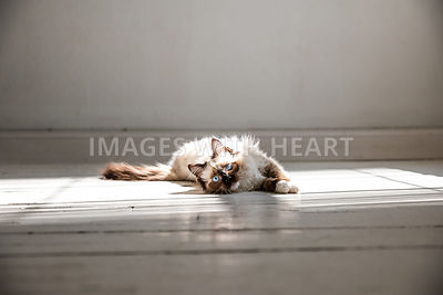 Ragdoll Cat Laying in Sun