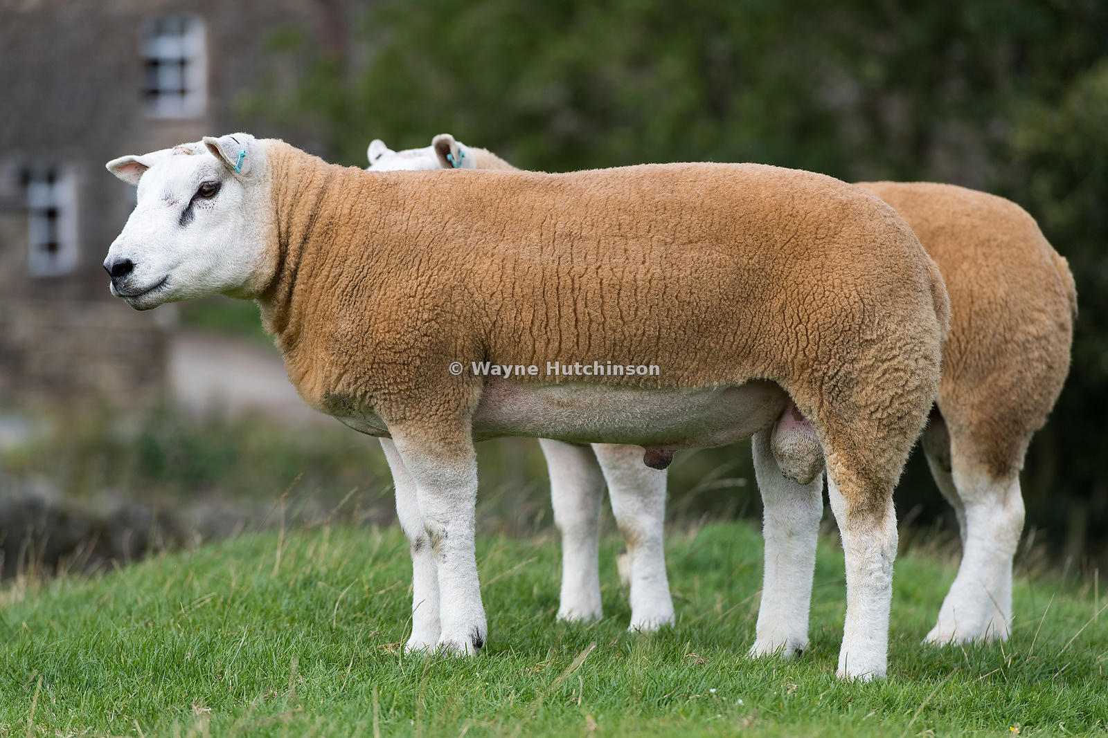 Texel rams in fields ready for autumn breeding sales, North Yorkshire, UK.