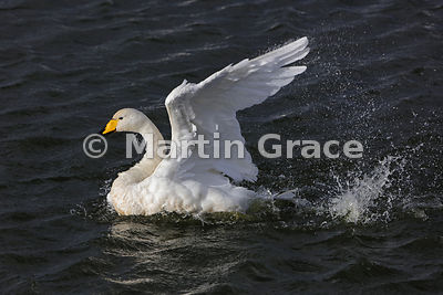 Whooper Swan (Cygnus cygnus) bathing, Dumfries & Galloway, Scotland