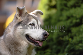 Profile of a husky mix against a green background