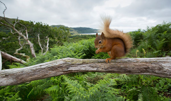 Having a go at some remote wide angle images of the Red Squirrels