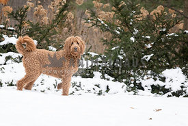 Active beautiful side view of brown golden doodle dog in winter country setting