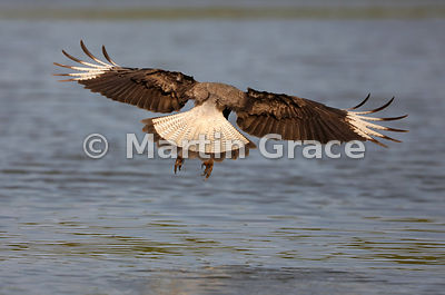 Southern Crested Caracara (Caracara plancus) in flight over water, Northern Pantanal, Mato Grosso, Brazil