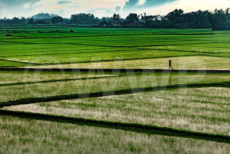 _W_P0292-Vietnam-man-rice-field-at-morning