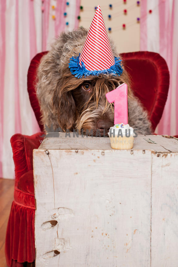 Dog in party hat staring at his first birthday cupcake