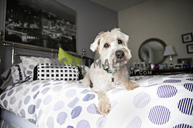 white Wheaten Terrier laying on bed in bedroom with purple and white comforter