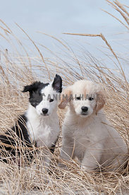 Border Collie and Golden Retriever in dune grass on the beach