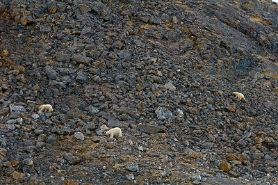 Three Polar bears (Ursus maritimus) in rocky landscape, female on the right wearing tracking collar, Svalbard, Norway