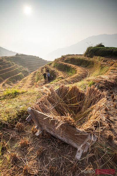 Workers harvesting on rice terraces in autumn, China