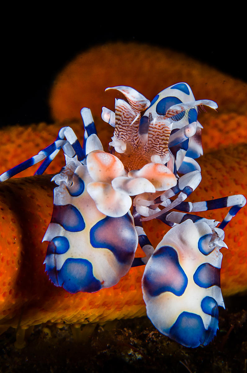 Harlequin shrimp (Hymenocera picta)  feeding on sea star.  Bali, Indonesia, Tulamben