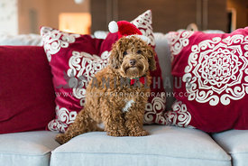 Designer breed Havapoo dog wearing Santa hat sits on the couch