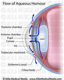 Flow of aqueous humour in the eye