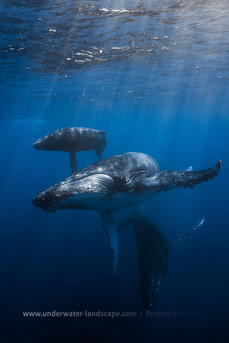 Mother,calf and escort