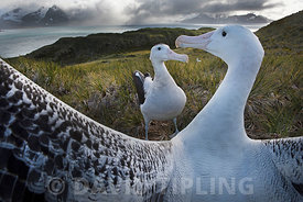 Wandering Albatross Diomeda exulans pair displaying on Albatross Island in Bay of Isles South Georgia
