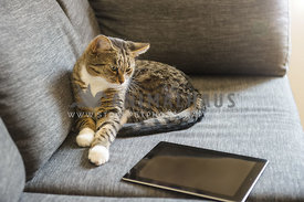 Cat looking at an a tablet on the couch