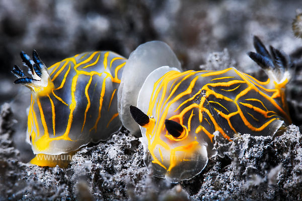 Nudibranchs - Sea snails