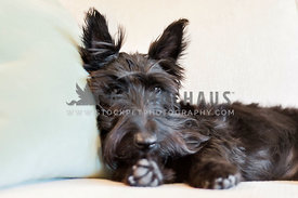 Scottish Terrier relaxing on couch
