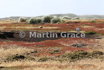 Acidic heath habitat on Sea Lion Island, Falkland Islands, showing dwarf shrub heath in the foreground, a large area of Sheep...