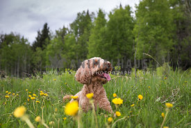 Doodle Dog Laying in Dandelions