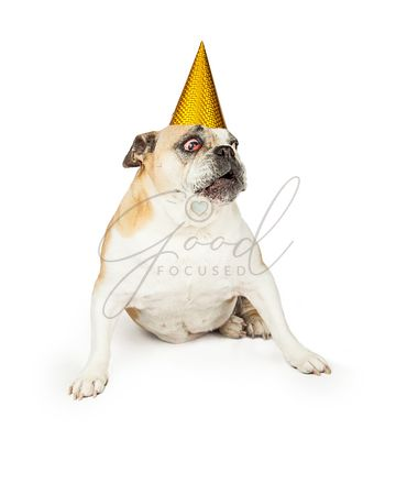Surprisedl Senior Bulldog Wearing Yellow Party Hat