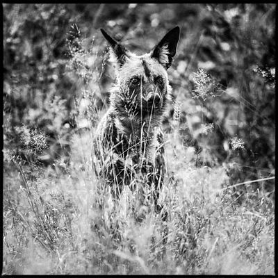 0979-Wild_dog_in_the_grass_Bostwana_2009_Laurent_Baheux
