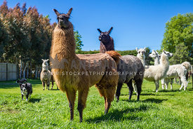 farm dog herding alpacas