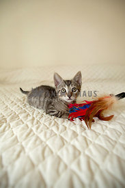 small-kitten-looking-at-camera-laying-on-quilt-with-feather-stick-toy
