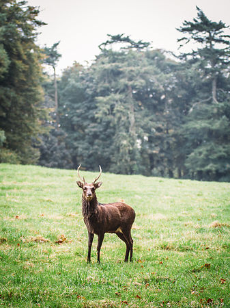 Waterford_castle_Deer