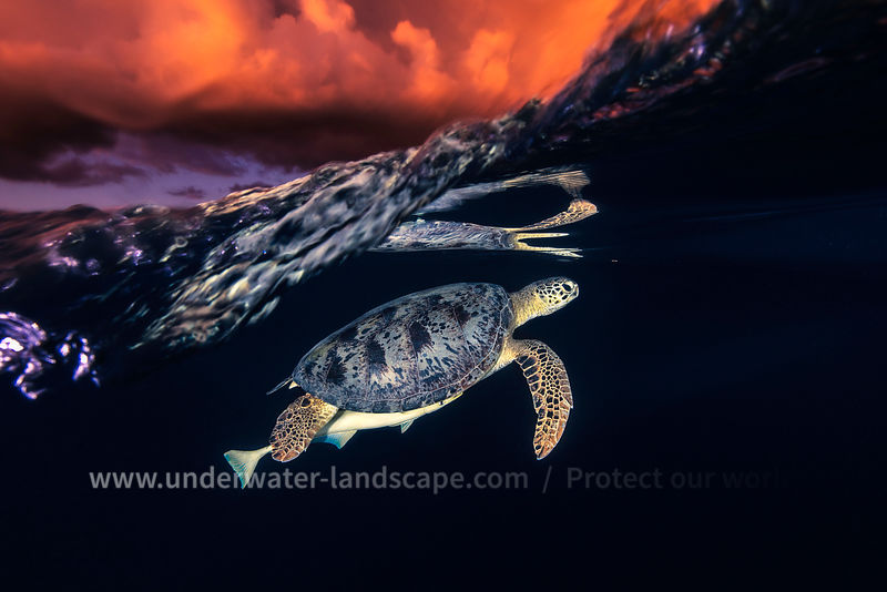 Green turtle and sunset - Sea Turtle