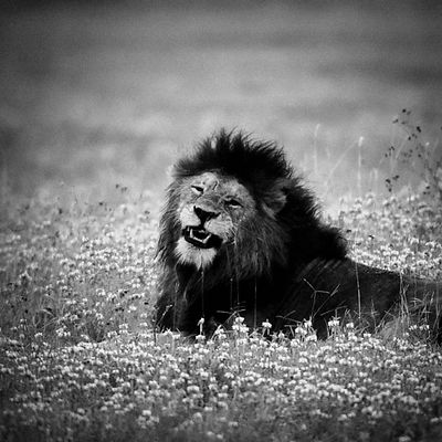 3673-Lion_in_the_flowers_Laurent_Baheux