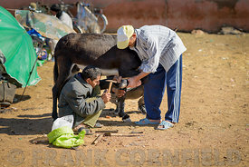 GUELMIM, MOROCCO – OCTOBER 31, 2015: Men trying to nail rubber shoe on a donkey for at the weekly market in the south Morocca...