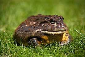 side view of african bullfrog in garden