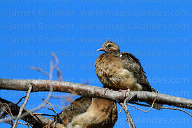 Young Eared dove (Zenaida auriculata)
