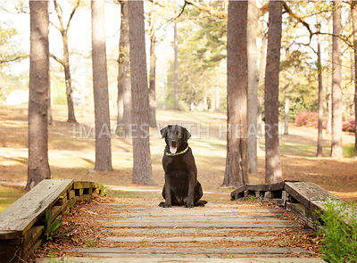 Black lab sitting on bridge looking at camera