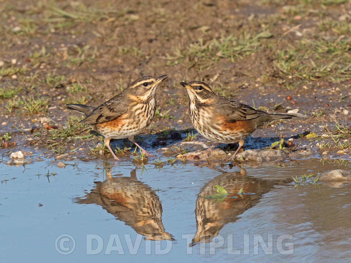 Redwing Turdus iliacus newly arrived migrants drinking at puddle in track North Norfolk October