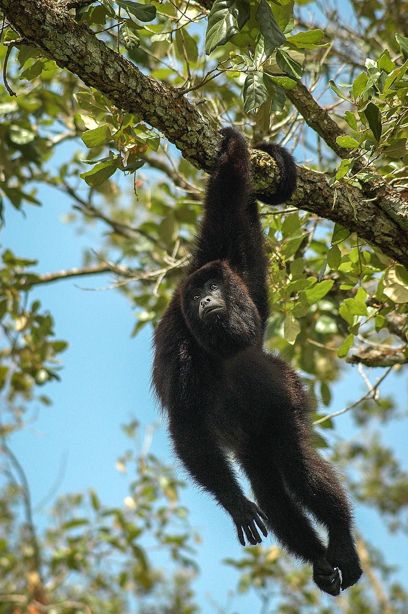 Black Howler Monkey