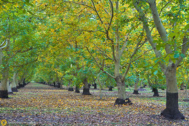 Walnut Orchards in Fall #1
