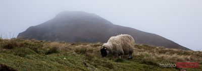 Shhep grazing in misty landscape Scotland UK