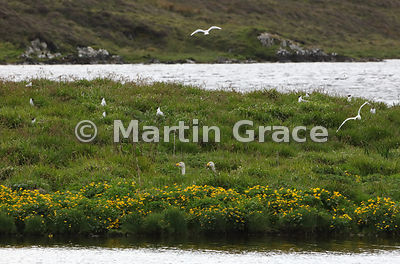 Holm of Setter (Island), Loch of Tingwall, Mainland Central, Shetland: home of nesting gulls and - it seems - Whooper Swans (...